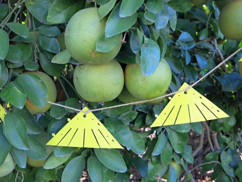 Attract-and-kill devices for management of citrus greening disease hang on strings on residential citrus trees.